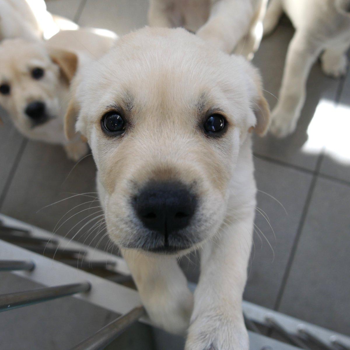 Uživatel Guide Dogs Na Twitteru Todays Super Cute Pups
