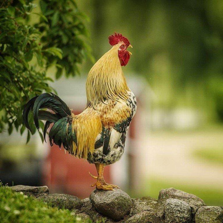 картинки с курицами доброе утро кожаных