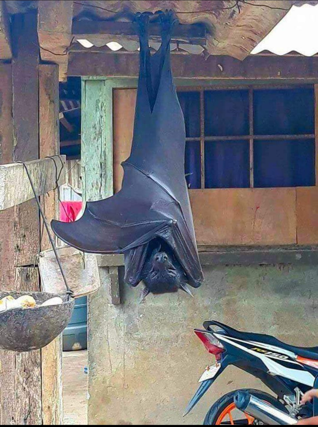 フィリピンオオコウモリ。 大き過ぎない!?