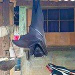 えっ、加工じゃないの!?フィリピンオオコウモリの存在感がすごすぎる!