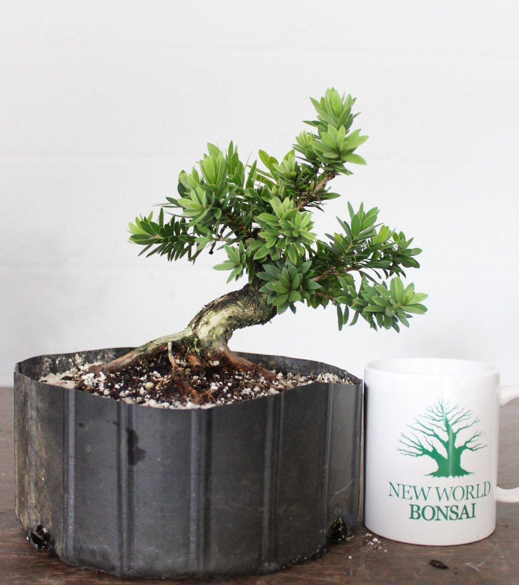 Wikibonsai Com On Twitter Dwarf Bottlebrush Flowering Bonsai Awesome Turnk Movement Quality Prebonsai Https T Co Sucdtzlyg2 Juniper Juniperusbrevifolia Juniperusphoenicea Https T Co Ooupznsste
