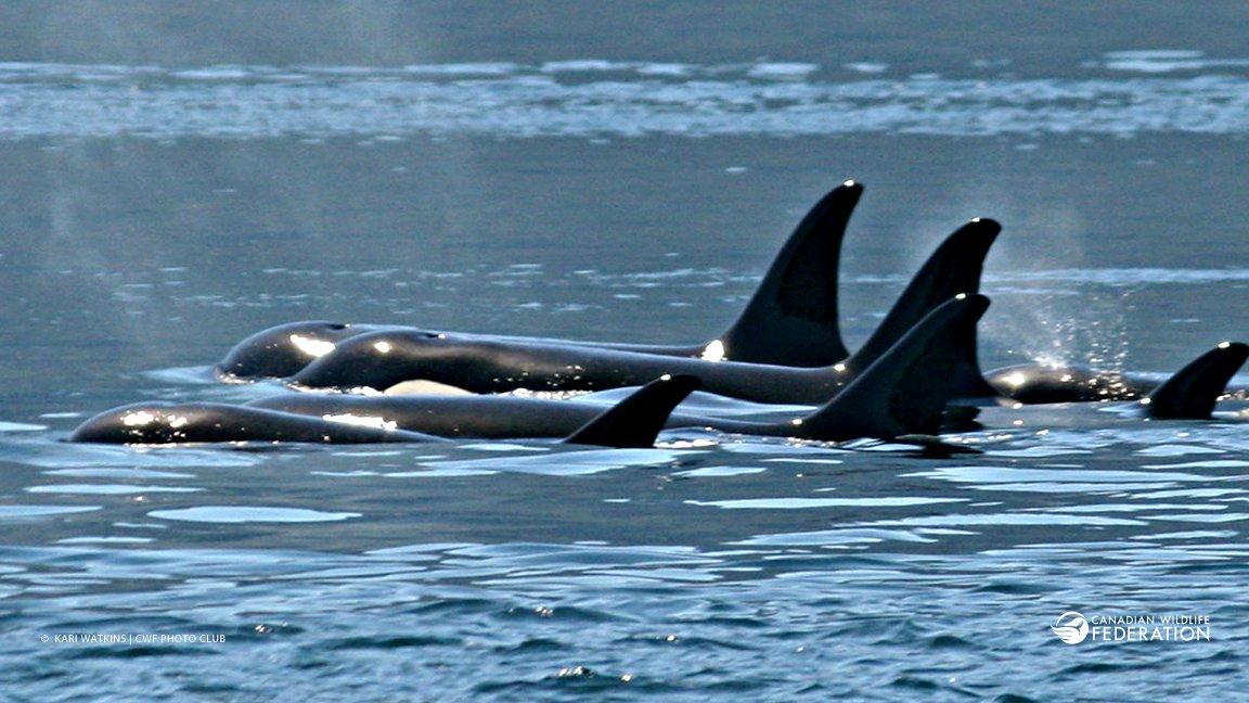 killer whale or orca pod