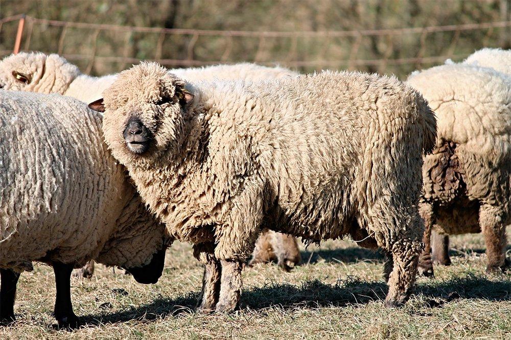 Parera | Capacitan a productores ovinos