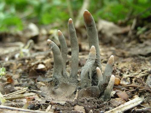 """通称「死者の指」""""dead man's fingers""""と呼ばれてるキノコが名前の通りでホントに怖い"""