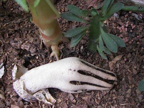 見たら悲鳴をあげちゃうかも…「死者の指」が通称のキノコが怖すぎる…!