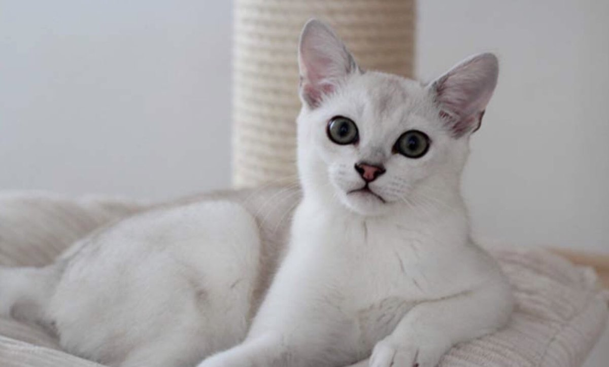 Kathleen Jacques On Twitter Pleased To Have Just Learned About The Burmilla A Cat Breed That Looks Like It S Wearing Eyeliner