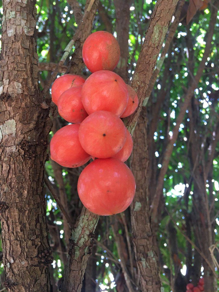 Baccaurea species #mardijelebu #underutilizedfruitsofmalaysia #tampoi #pupor #rambai