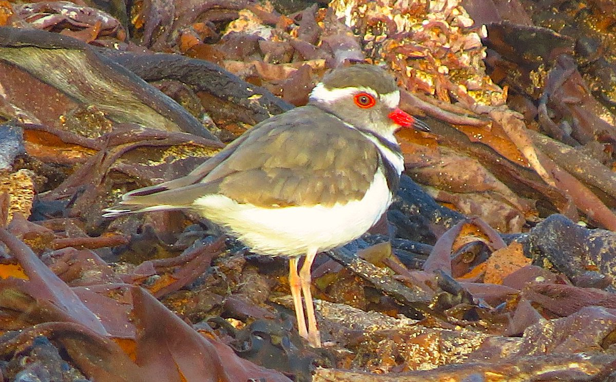 The coastline of Western Cape, South Africa, is a fantastic place for viewing sandpipers and plovers, cormorants and gannets, even penguins and albatrosses. This Three-banded Plover working the wrack line at the coastal town of Kleinbaii is one of many species we saw there.
