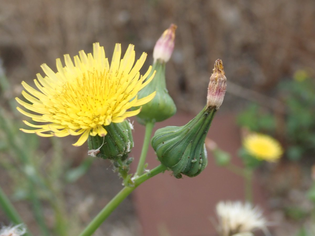 Dolly On Twitter Sow Thistle Or Hares Colwort Yet Another