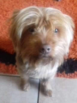 Sa Yorkie Rescue On Twitter Chocolateyorkie For Adoption In