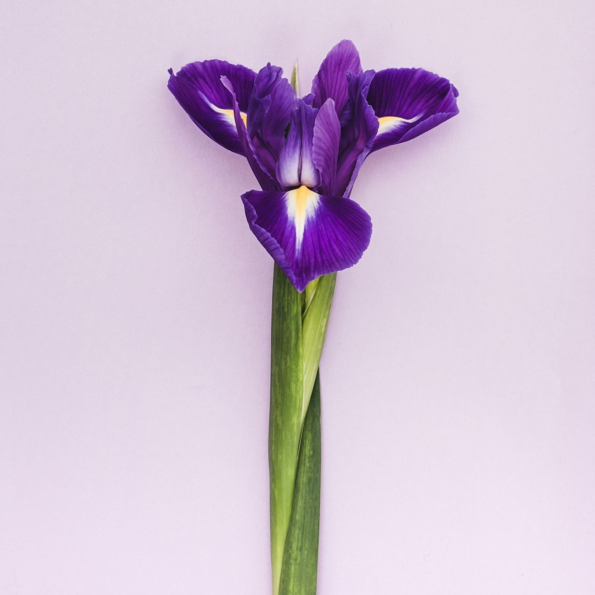 My mothers bloomers mothersbloomers twitter the celebrated connection of irises to royalty is extremely powerfulpicittervsiik8uanu izmirmasajfo