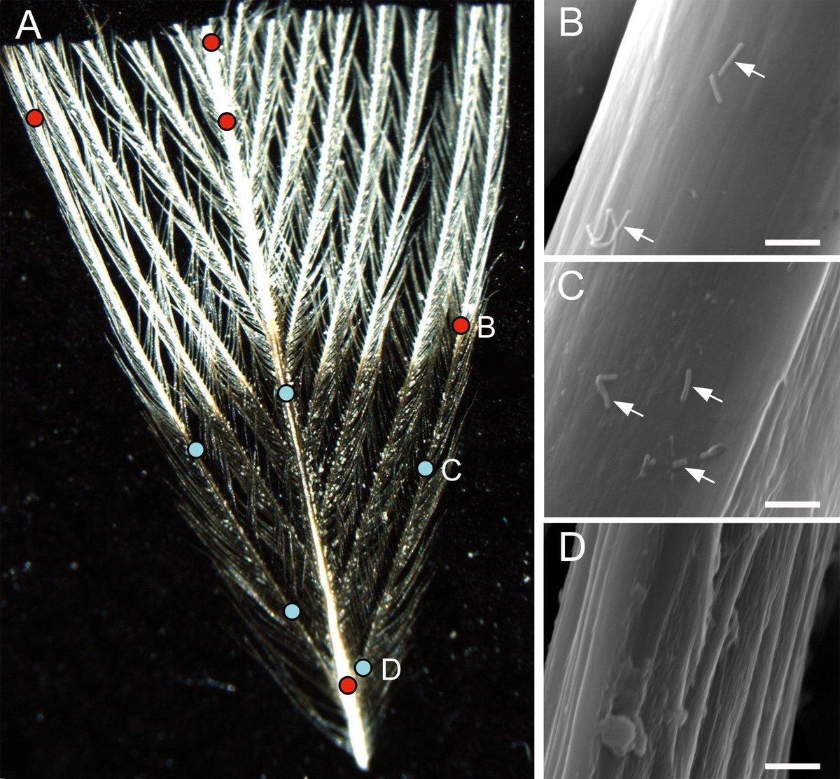 From 2017: Preferential attachment & colonization of the keratinolytic bacterium Bacillus licheniformis on black- & white-striped feathers americanornithologypubs.org/doi/full/10.16… #OA #ornithology