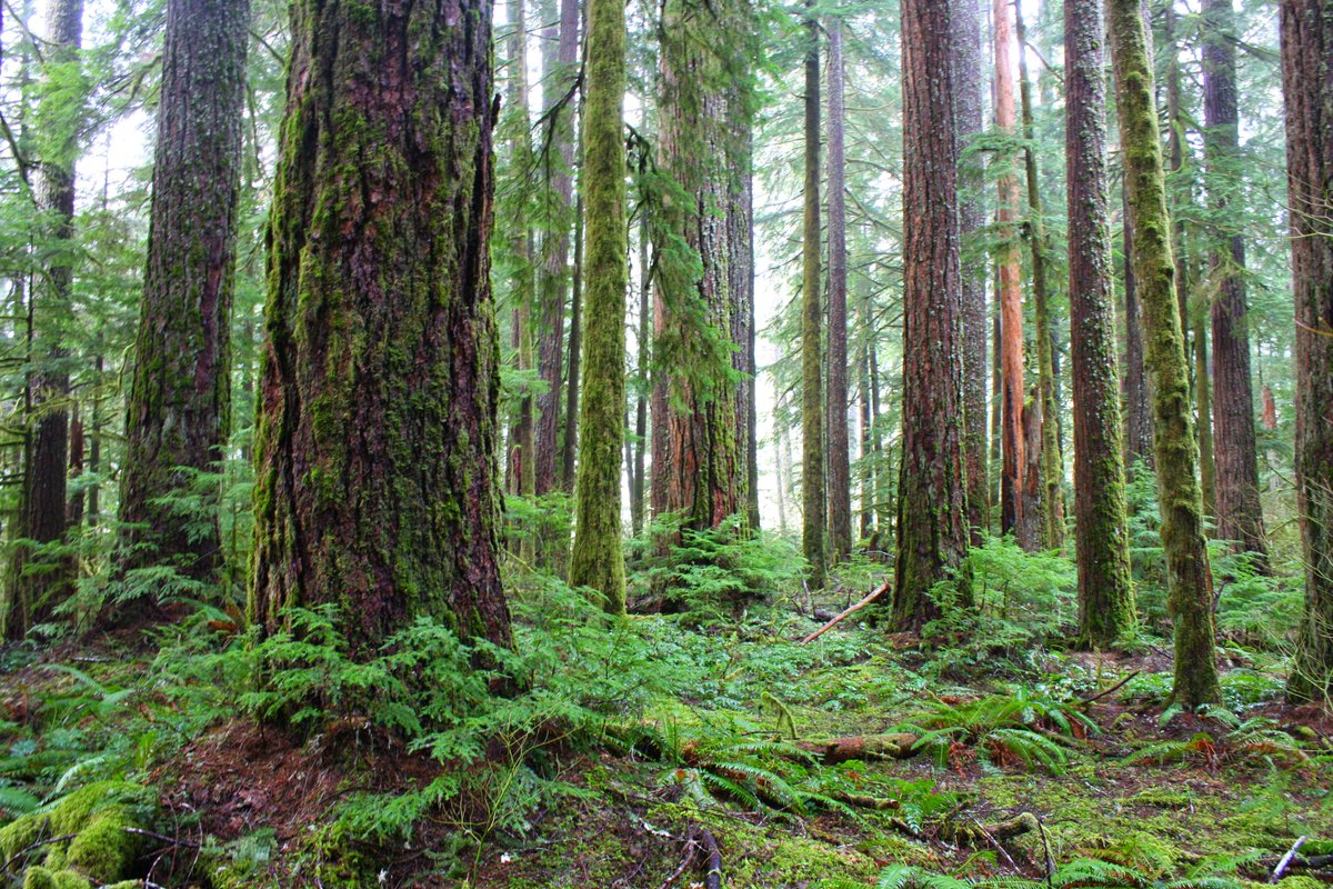 Pacific northwest temperate #forests represent some of the highest carbon densities in the world & have substantial potential for reducing forest sector emissions shows study pnas.org/content/early/… #GCAS2018 @ClimateWorks @PacificForest #ActOnClimate @PNASNews