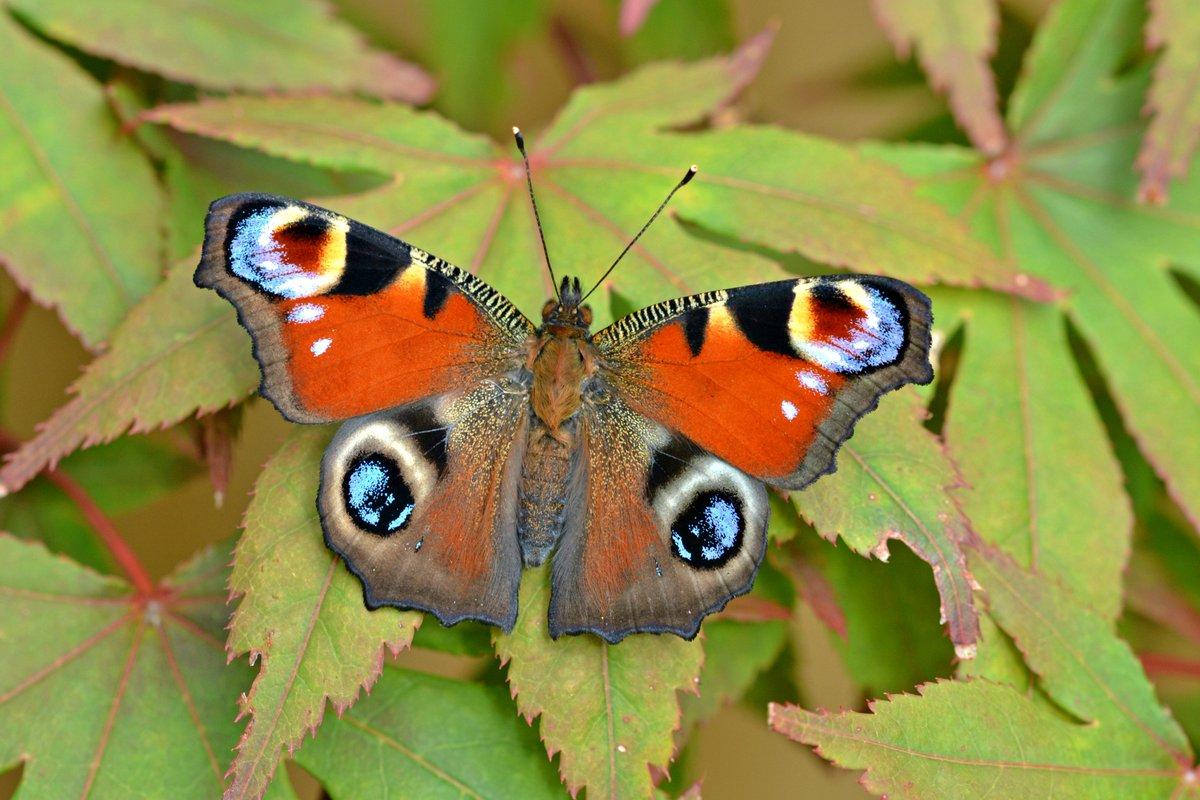 luthfiannisahay: Peacock Butterfly Dalam Bahasa Indonesia