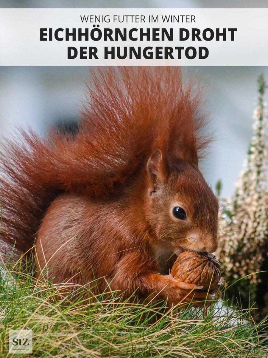 Der heiße Sommer hat dieses Jahr Nüsse und Früchte früher reifen lassen als sonst. Die #Eichhörnchen denken aber jetzt noch nicht daran, für den #Winter zu sammeln. Ihr könnt helfen, indem Ihr Nüsse sammelt, trocknet und sie den Tierchen im Winter wieder zur Verfügung stellt.