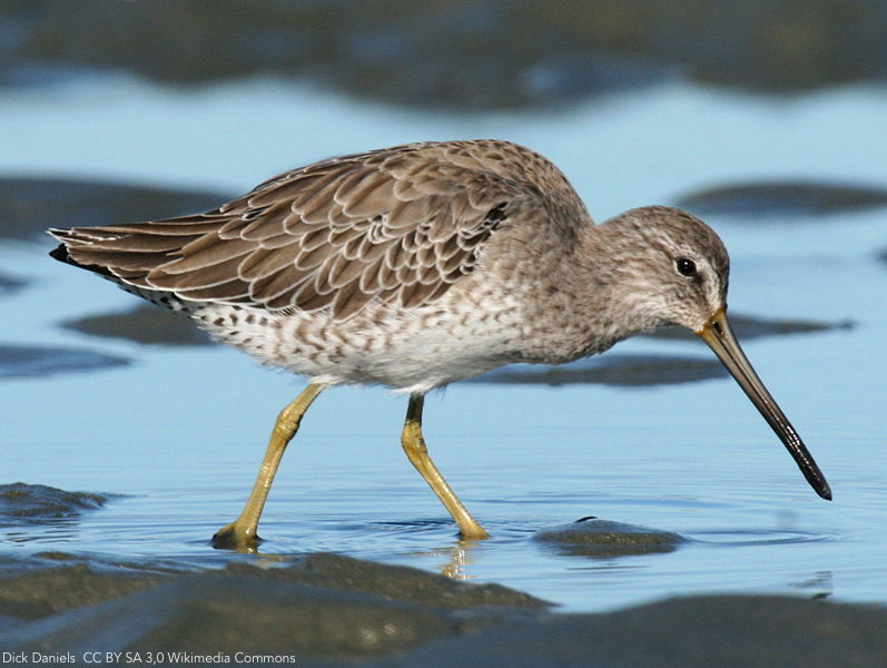Use of semi-intensive shrimp farms as alternative foraging areas by migratory shorebird populations in tropical areas ow.ly/y8x730lMbqM | @bci_journal | #ornithology