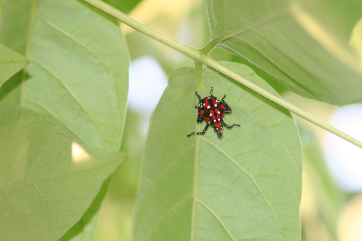 tinyurl.com/y7plnfd3 Curious about spotted lanternfly? There is great concern about its effect on vineyard, orchard, and forest industries. Its presence could lead to crop loss and increased management costs #IPM #InvasiveSpecies @CornellCALS @ccecornell @cornellento
