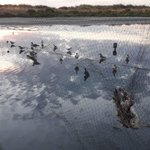 Image for the Tweet beginning: A fantastic #wader mist-netting session