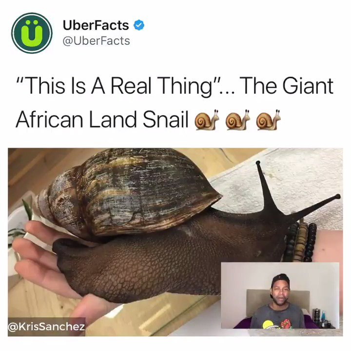 This is the Giant African Land Snail. They can weigh up to two pounds. Enjoy.