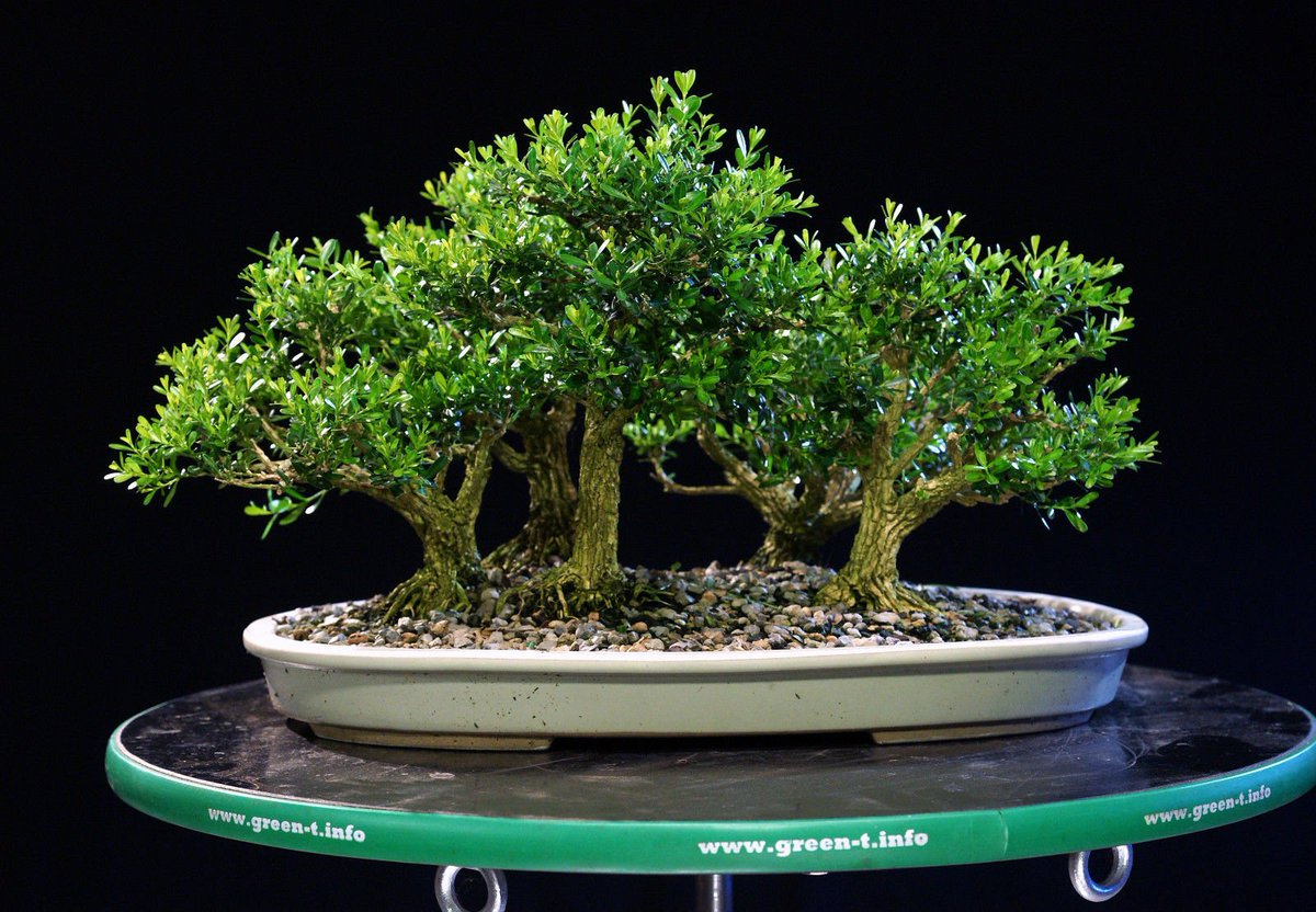 Wikibonsai Com On Twitter Harland Boxwood Bonsai 5 Tree Forest Planting Outdoor Indoor Hb5g 717a Https T Co Xj3ktikmh1 Hb5g717a Juniper Juniperusbrevifolia Juniperusphoenicea Outdoorindoor Https T Co X3eyuwm76a