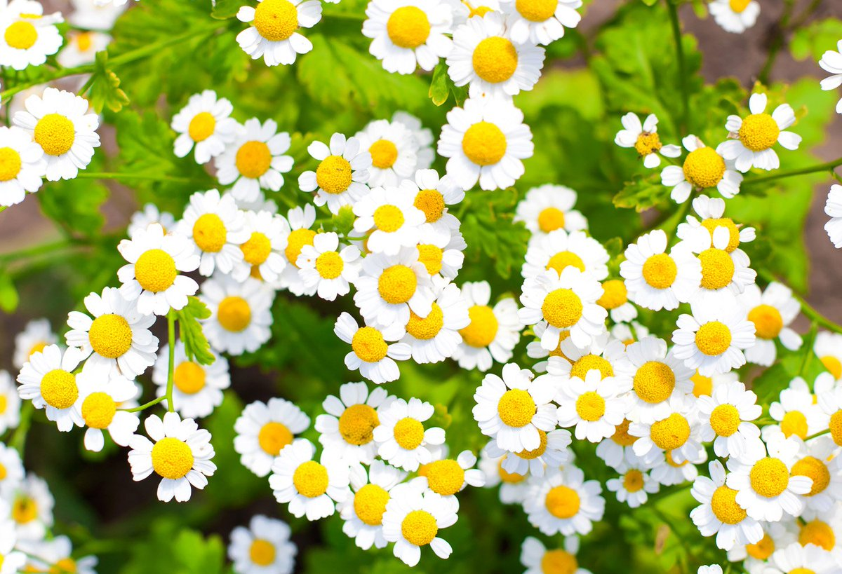 Yuuka Kazami Twitter Chamomile The National Flower Of Russia