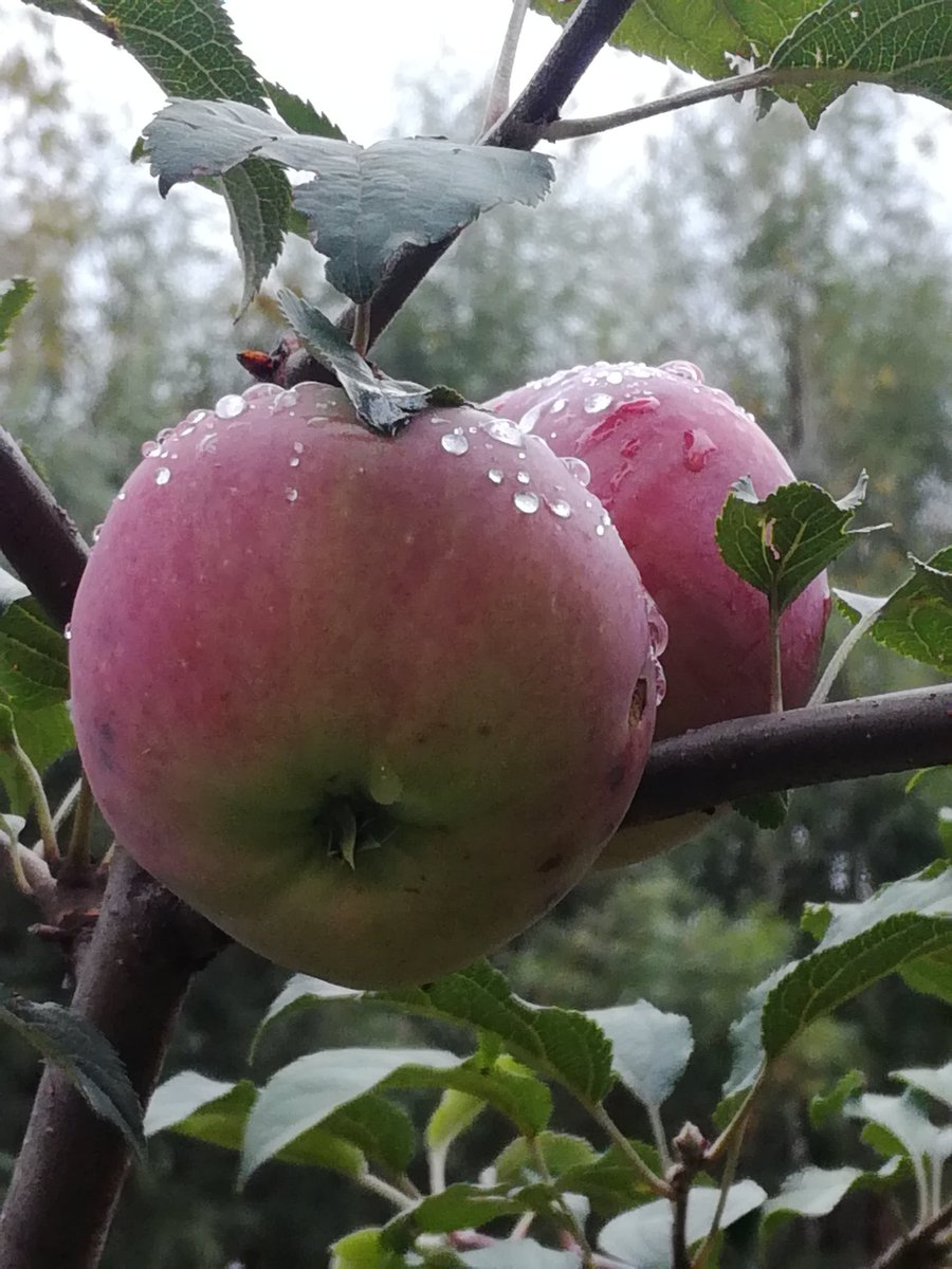 Яблоня сибирская описание фото