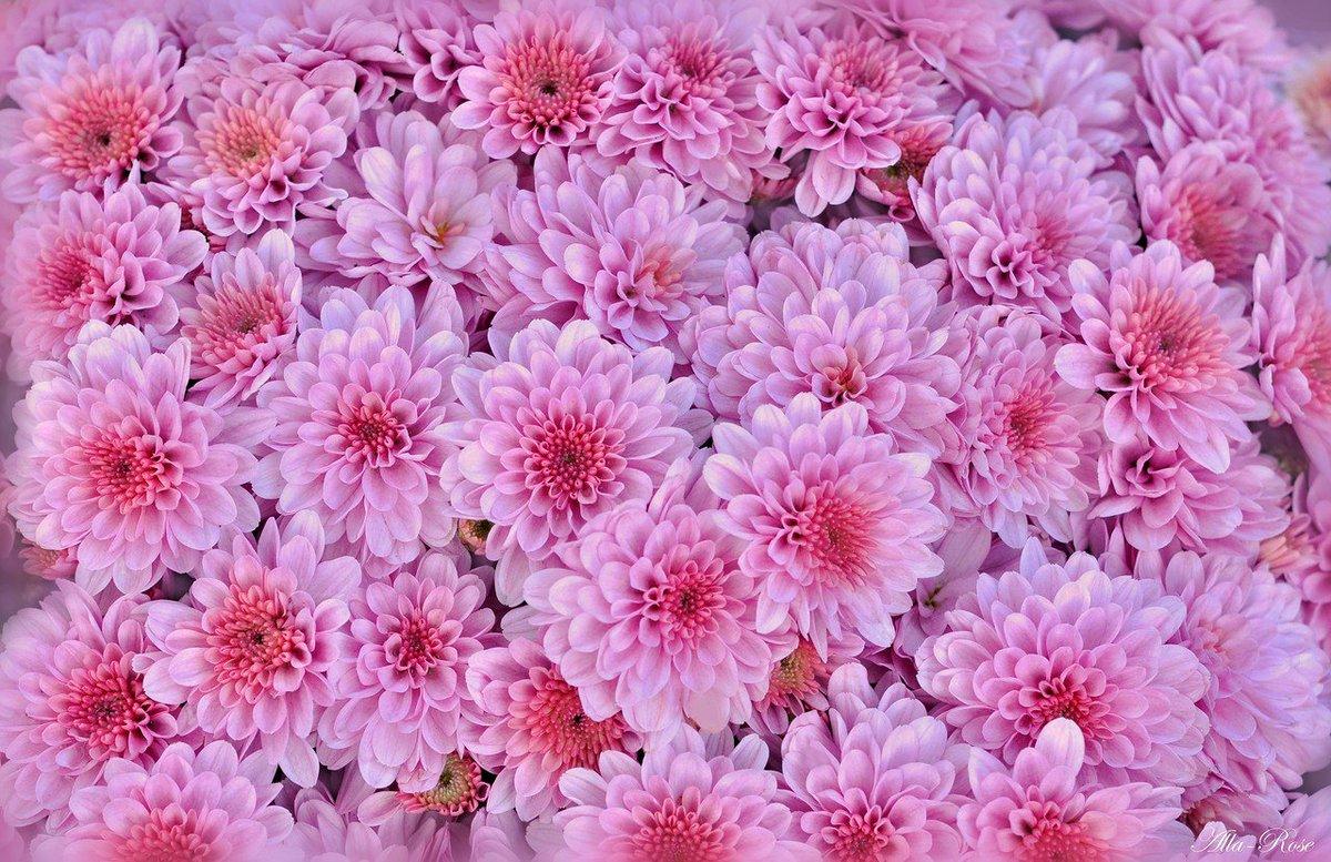 Интересная, хризантемы на открытке