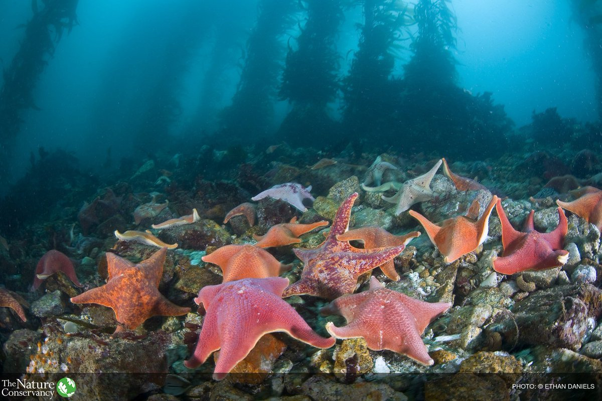 Warming event --> disease that kills starfish --> Purple urchins lose main predator, population booms --> Urchins decimate kelp populations --> Red abalone loses food source, putting ecosystem & economy that relies on it at risk. https://t.co/aJdSuBnf9J