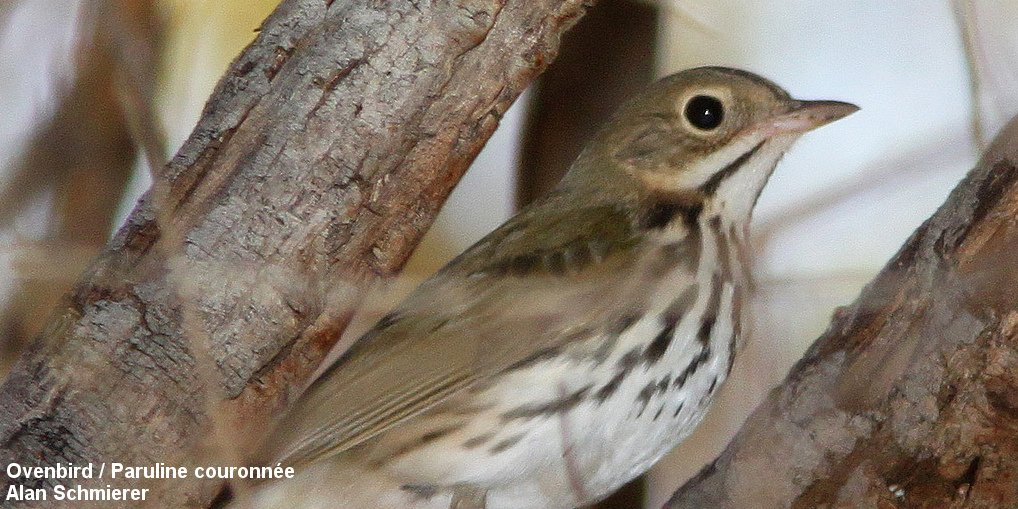 Use of an acoustic location system to understand how presence of conspecifics and canopy cover influence Ovenbird (Seiurus aurocapilla) space use near reclaimed wellsites in the boreal forest of Alberta: ow.ly/lUBA30lEf2Q @AvianAce #openaccess #ornithology