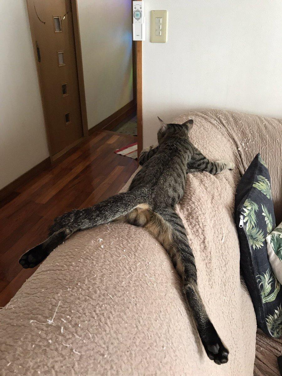 [ネコ]母親から送られてきた実家の猫のダラケ具合が半端ない。笑[2018年9月4日]