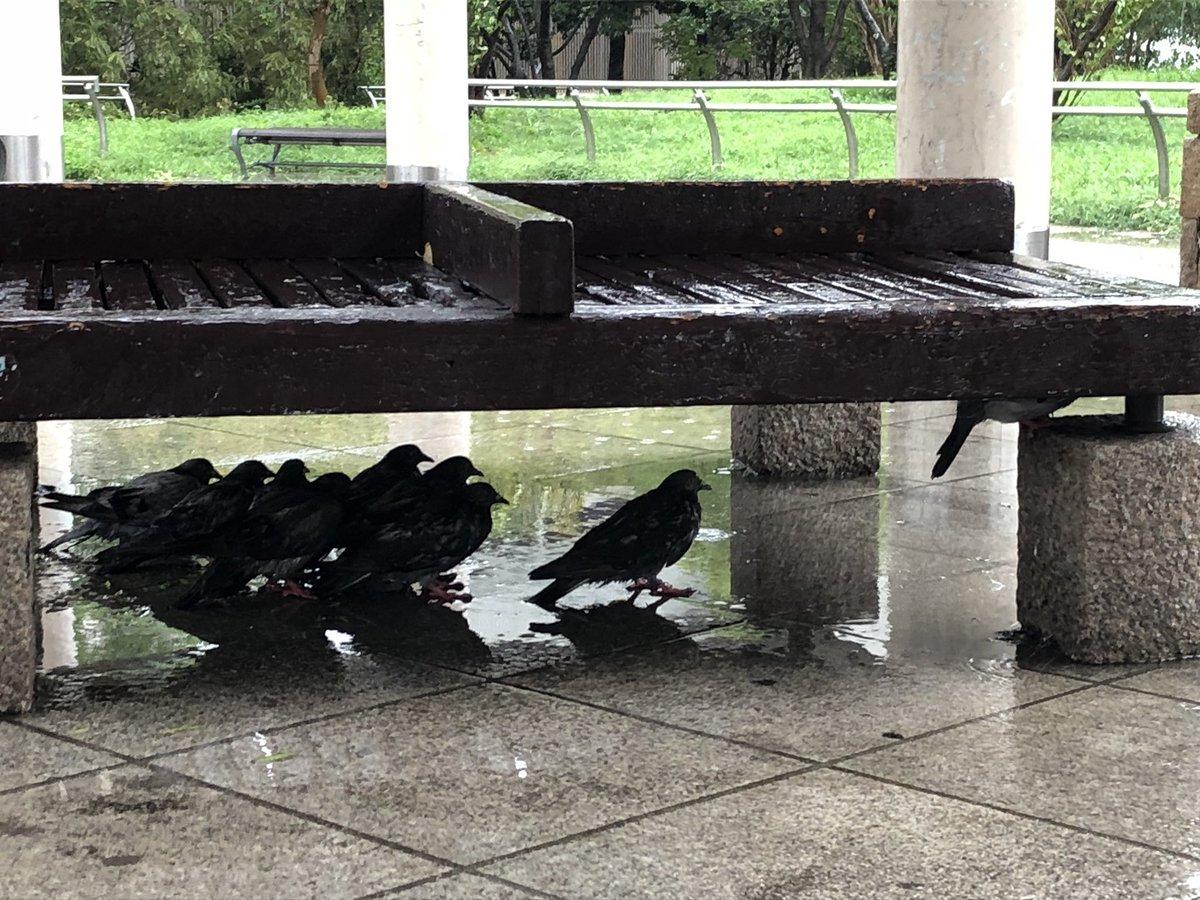 [鳥]鳩も台風頑張ってしのいでたww[2018年9月4日]