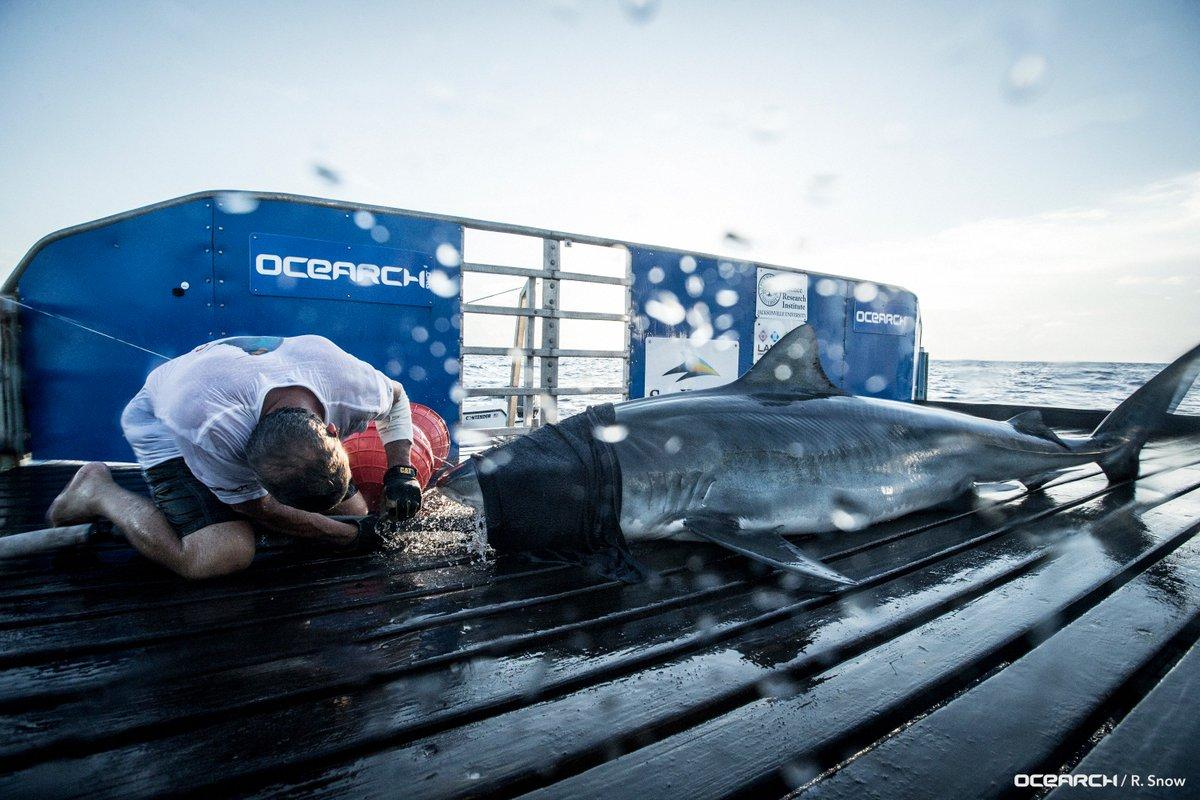 Ocearch On Twitter Tiger Shark At Therealdemott Made A Big Move