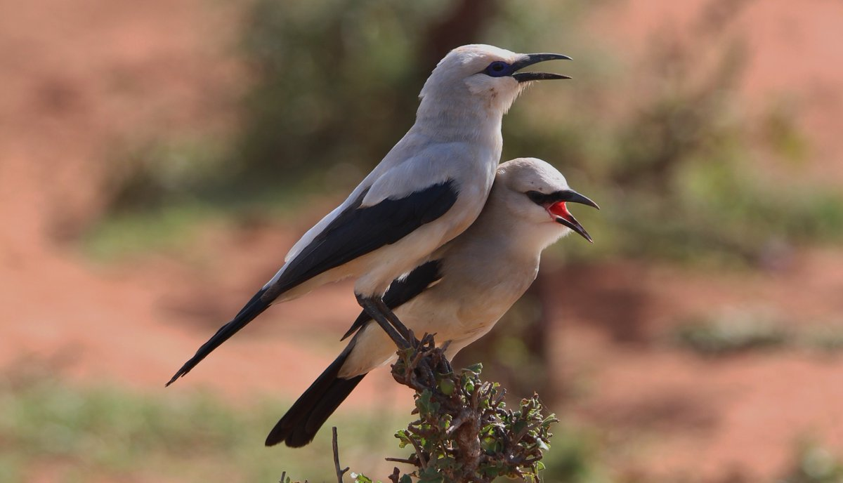 Is the Ethiopian Bush-crow's range truly limited by an inability to cope with high temperatures? Find out over on #theBOUblog by @Andrew_Bladon ow.ly/HuA030lEuKH and paper ow.ly/nbyR30lEuKN @CamZoology @RSPBScience #ornithology