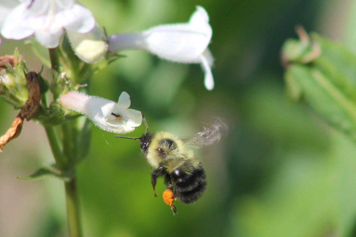 Pollinatorpartnershp On Twitter Dyk Queen Bumblebees