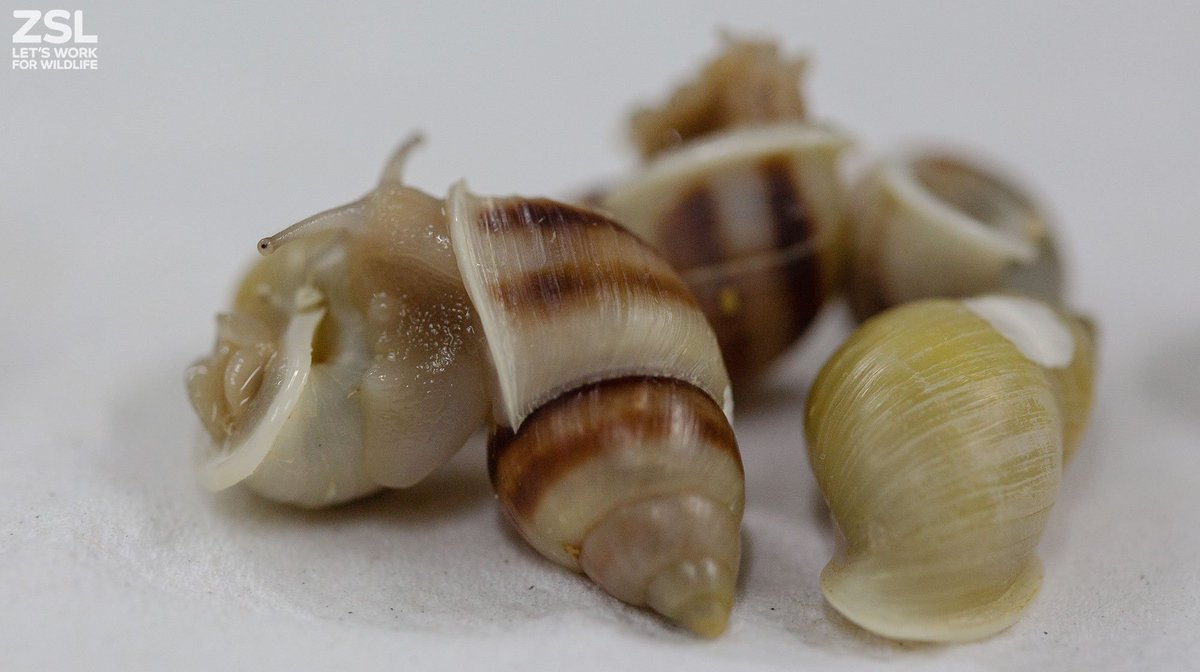 More than 10,000 #CriticallyEndangered Partula snails reintroduced in a collaborative effort with @BIAZA member zoos and other collections from around the world. Read more about the project: ow.ly/YTqM30lHa7x @BristolZooGdns @chesterzoo @Marwellwildlife @EdinburghZoo