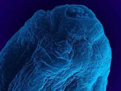 Pesquisadores do Instituto Oswaldo Cruz @fiocruz descrevem nova espécie de parasito https://t.co/HhZXbnmDKn