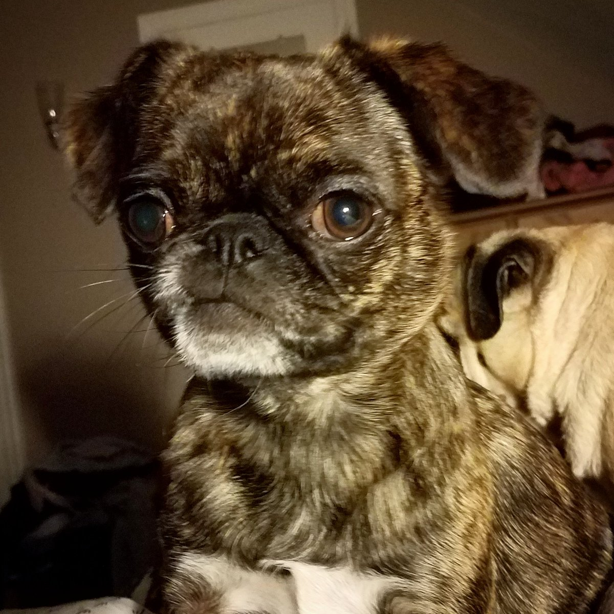 Bah Humpug On Twitter Shes Mixed With Pug Japanese Chin Shih