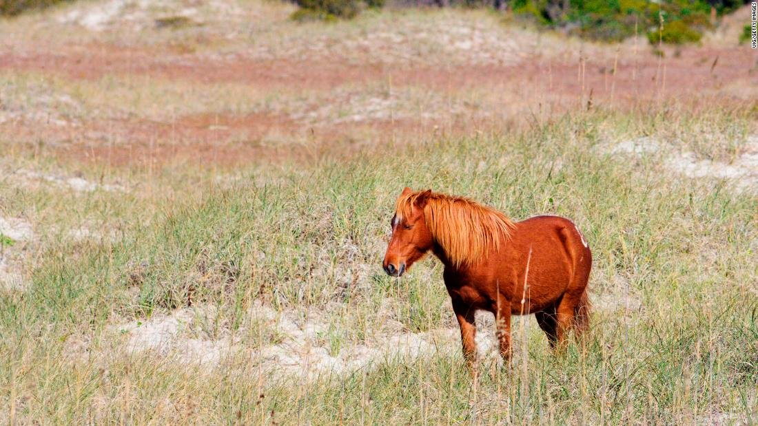 Wild horses roaming North Carolinas barrier islands will ride out Hurricane Florence, depending on instincts whetted over centuries to survive cnn.it/2Nb0gxL