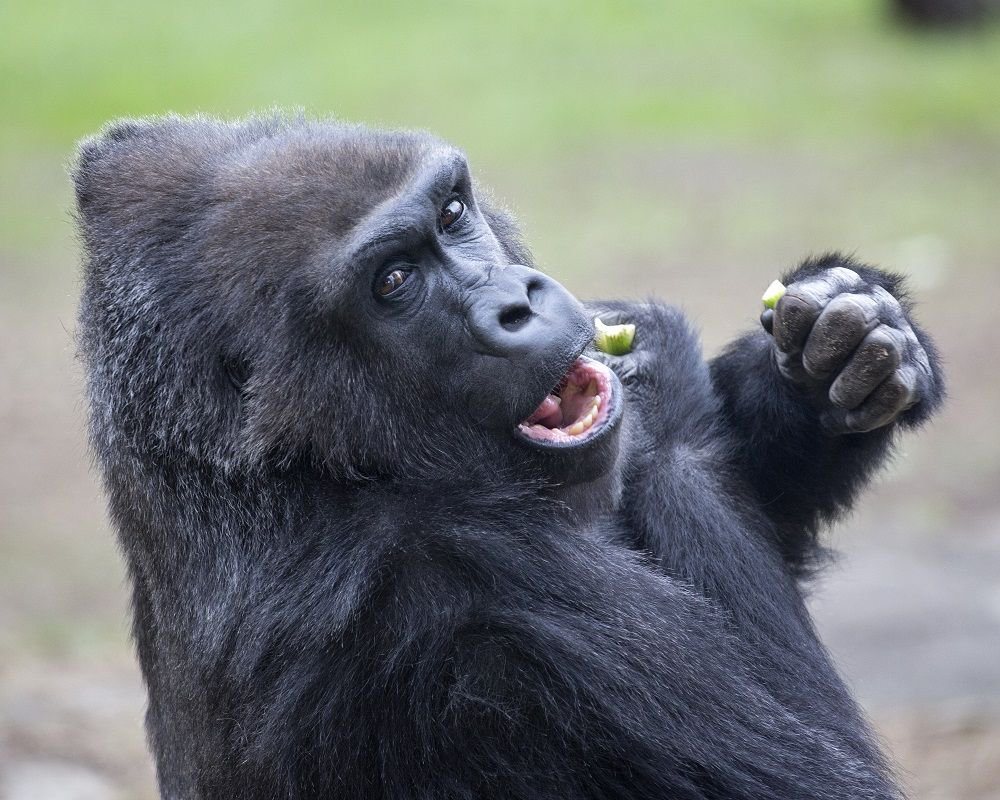San Francisco Zoo On Twitter Happy 37th Birthday Zura Sfzoo Savingspecies Photo Marianne Hale