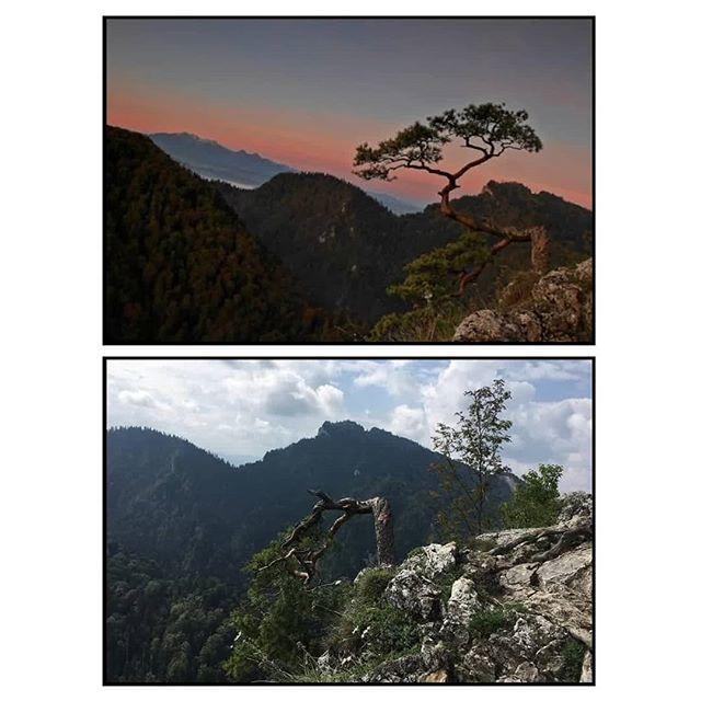 Gazeta Wyborcza.pl on Twitter: Licząca ponad 500 lat sosna zwyczajna, rosnąca na Sokolicy w Pieninach, została uszkodzona podczas akcji ratunkowej. Sosna jest jednym z najczęściej fotografowanych drzew w Polsce #Sosna #Pieniny #natura #gory #mountain