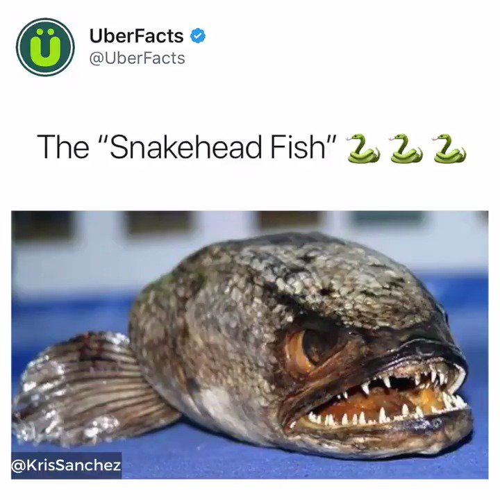 snakehead fish facts
