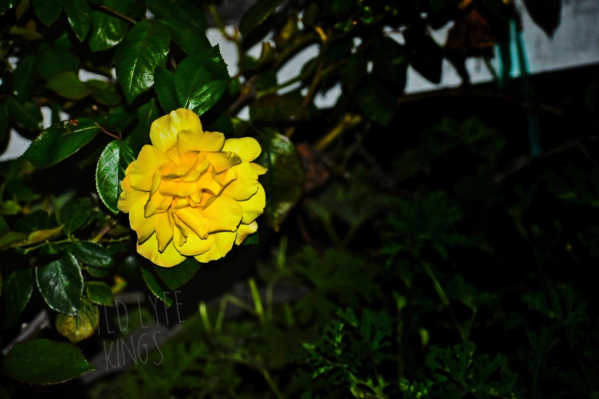 A rose to all my friends.   #rose #flowers #yellow #friends #nature #journey #adventure #we #photography #photohrapher #streetphotography #brand #fashion #passion #love #sacramento #torance #losangeles #beautifulpic.twitter.com/zSMK75rxPH