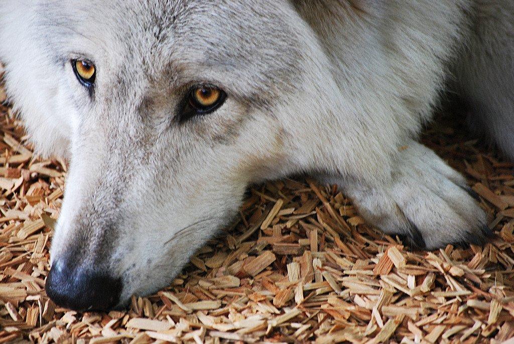 картинки страдающего волка простите, санинструктора азова