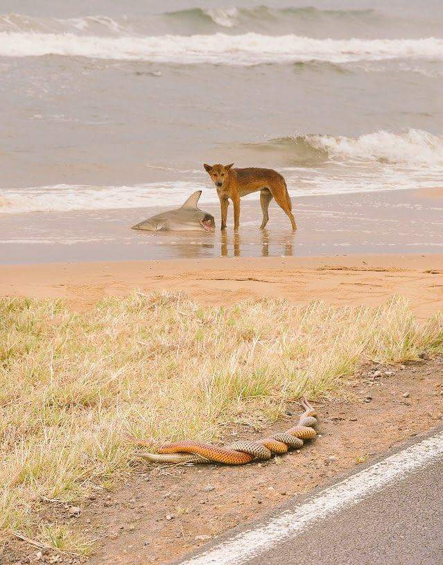 Dingo eating a shark while two snakes have sex. Welcome to Australia.