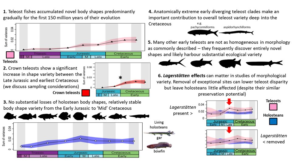 Our latest paper, now within the newest Paleobiology issue: bit.ly/2r1gCvO. We test various theories about the accumulation of body shape variety in holostean and teleost fishes for the 1st 150myrs (60%) of their evolution. DM if you need access :) Main findings below: