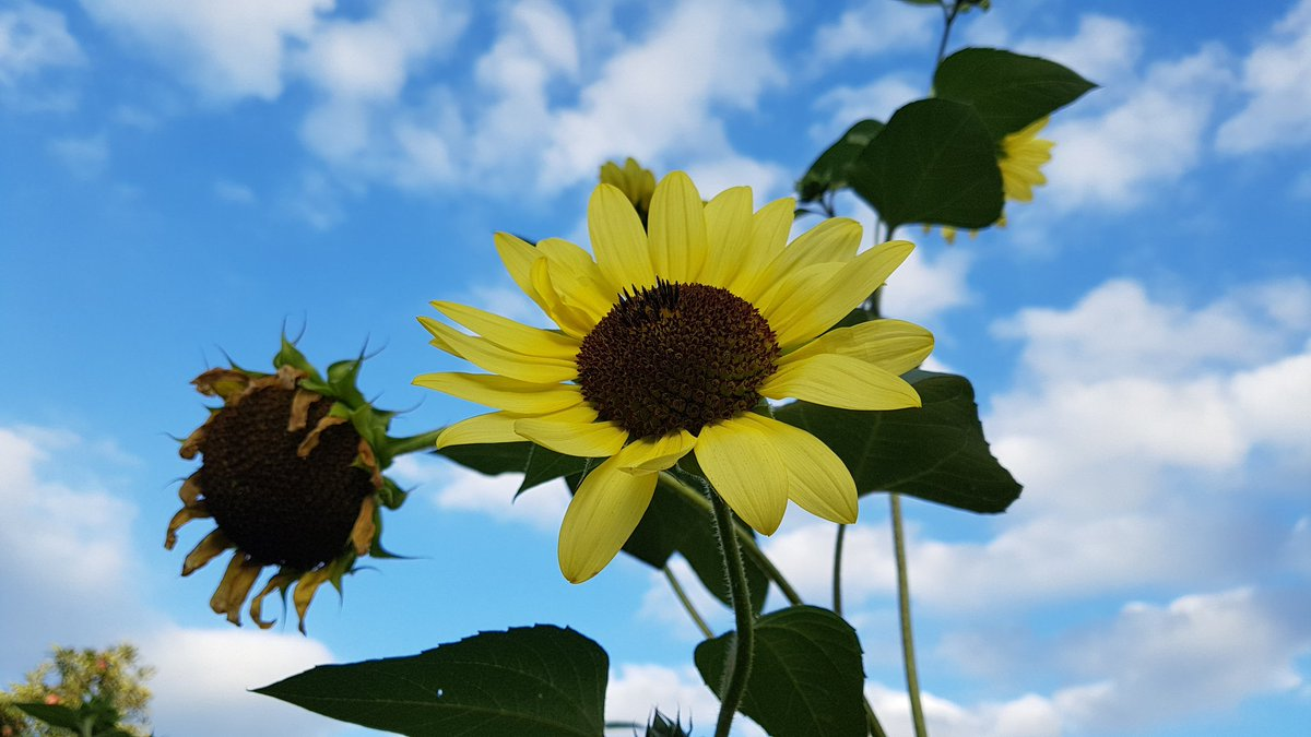 Reto On Twitter Mit Der Sonnenblume Dem Himmel Entgegen