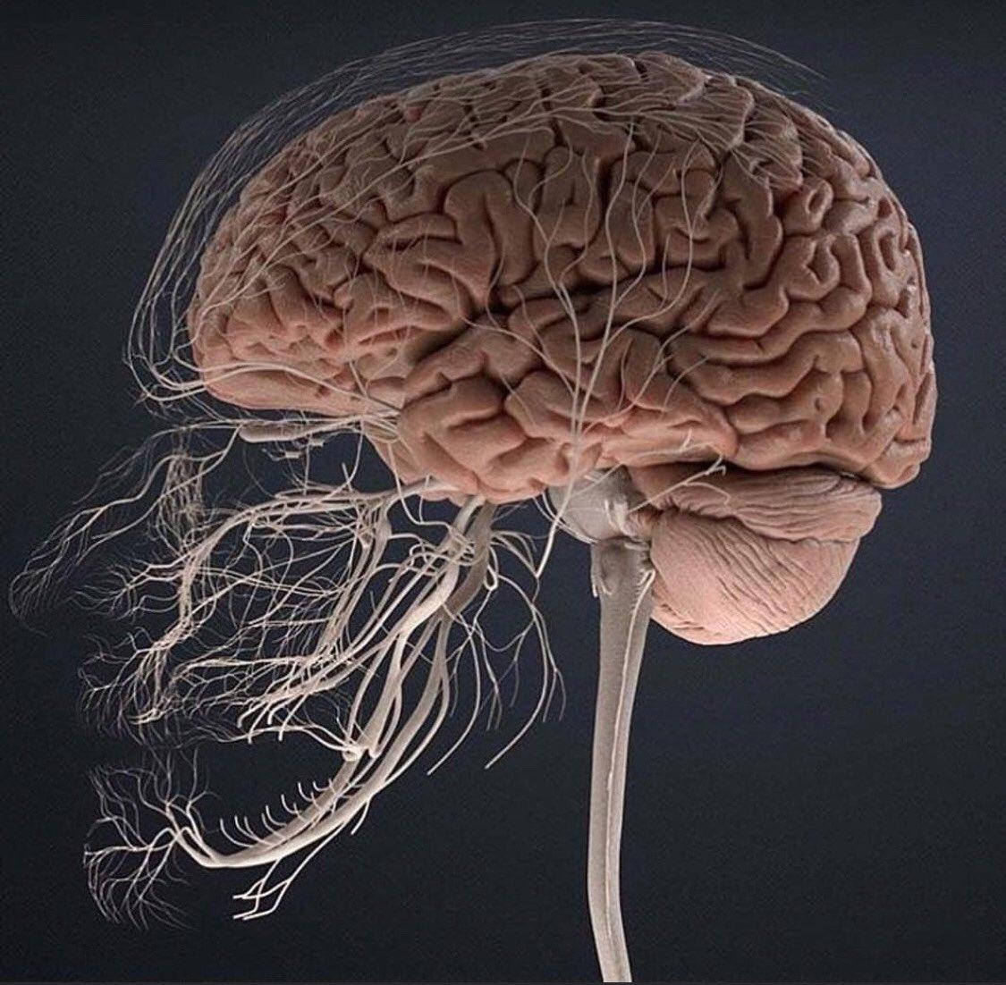 картинка мозговой центр домкрат редко