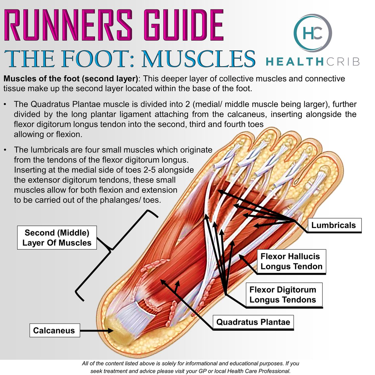 Healthcrib On Twitter The Foot Muscles Distal Bottom Are Made Up Of 3 Layers The Middle Layer Is Formally Made Up Of Connective Tissue This Layer Is Made Up Of 2 Muscles
