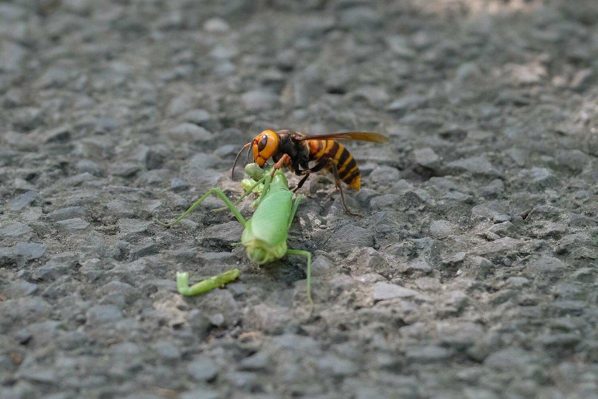 スズメバチ カマキリ 第52回 カマキリモドキはカマキリの真似をしていない?