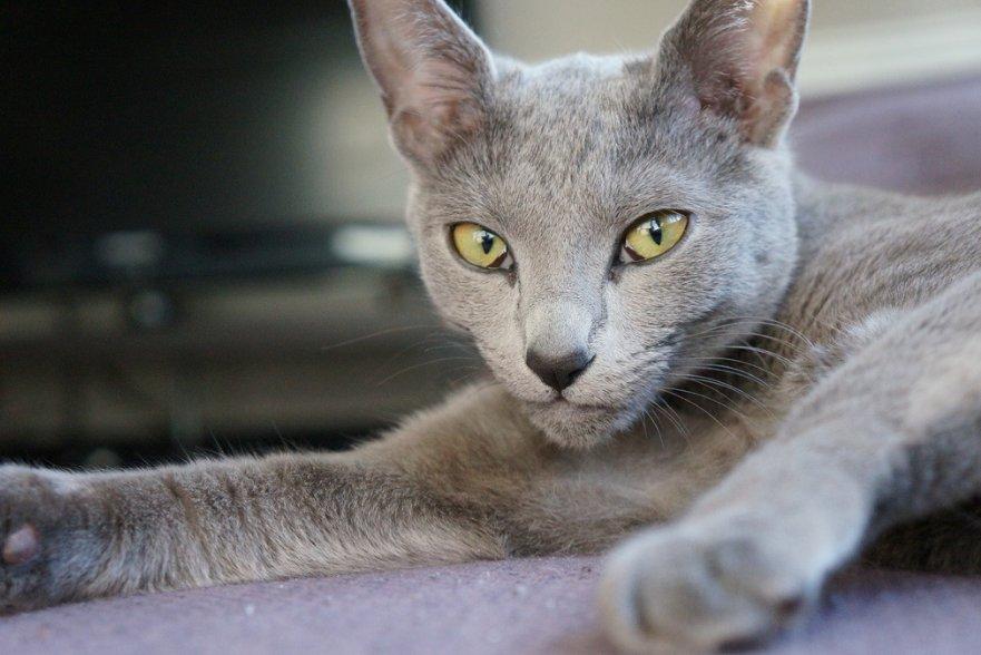 russian blue cat - 1024×680